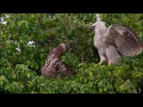 harpy eagle and sloth relationship