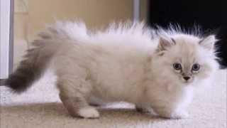 Наполеон   Карликовая кошка, Порода кошек