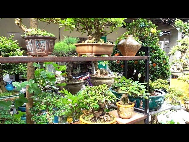 Báo giá sanh nam điền, si, linh sam, mai chiếu thủy, bông trang, tùng, dành dành. Bonsai trees