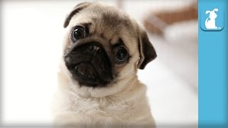 Pug Puppies Are The Magic Of Your Every Day!  Puppy Love