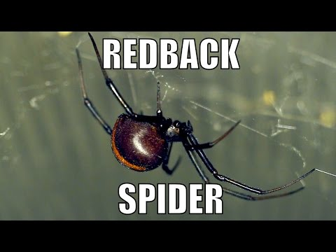Redback Spider, Deadly Australian - Latrodectus hasselti. Biodiversity Shorts #17