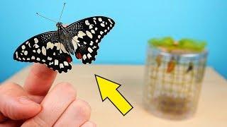 Бабочкариум! Рождение первой Бабочки! Поела и сходила в туалет! alex boyko
