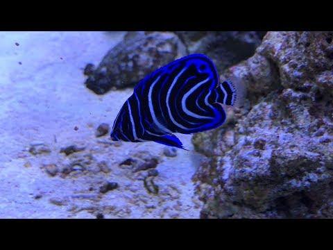 New Koran Angel Fish