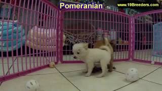 Pomeranian, Puppies, For, Sale, In, Tampa, Florida,fl,st Petersburg,clearwater,