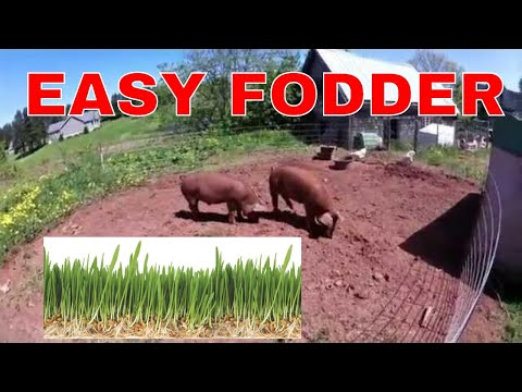 EASY!! How to sprout grains for feed, Hog and Chicken Fodder - Sprouting Grains The Natural Way!