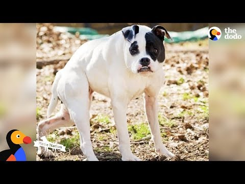 Pit Bull Dog with Short Spine Is Queen Of Her House - CUDA | The Dodo | The Dodo Pittie Nation