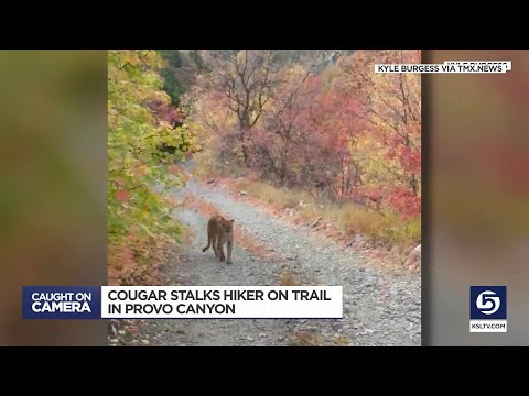 Cougar Stalks Man For Six Minutes During Run In Utah Canyon