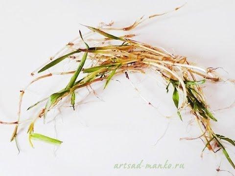 Трава мокрица - полезные свойства, противопоказания
