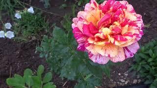 Розы, розы, розы - фильм второй  - 28 мая 2018 год Крым, посёлок Гвардейское.