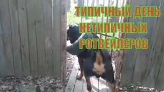 ТИПИЧНЫЙ ДЕНЬ НЕТИПИЧНЫХ РОТВЕЙЛЕРОВ.Воспитание и дрессировка собаки