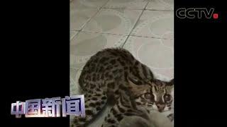 [中国新闻] 广西:志愿者照顾年幼豹猫一年多将其放生 | CCTV中文国际
