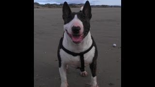 Skem Brindle English Bull Terrier Ocd