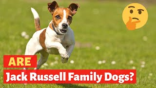 Are Jack Russell good family dogs? Should you pet this breed of dogs?