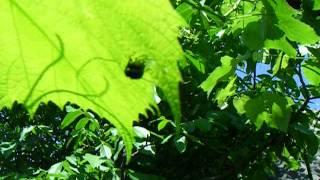 видео Яблонная листоблошка
