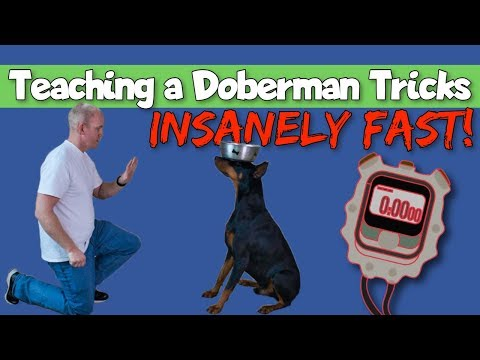 How to Teach Tricks to a Doberman Insanely Fast