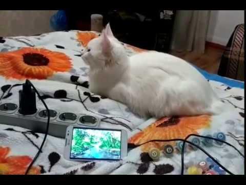 Лактобифид для кошек