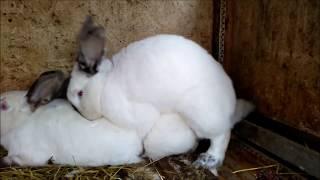 кролики спариваются,rabbits are mated