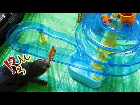【カワウソ実験】そうめんスライダーをビンゴにやらせてみたら・・(The water slide will make otter bingo so excited)