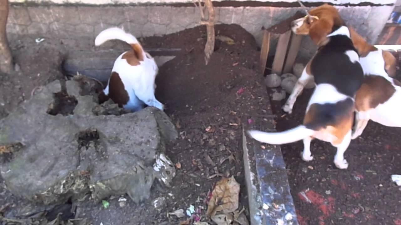 R Beagles Smart Sim, são Beagles....