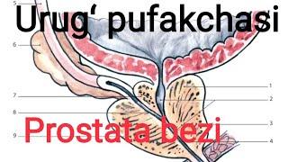 Krónikus prosztatitisz éhség