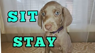 10 Weimaraner Puppies In Training: Learning Good Manners: Training Puppies to Sit and Stay, Eps 1.