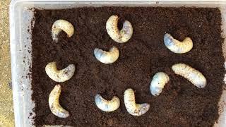 冬に向けカブトムシ幼虫のMAT交換です。