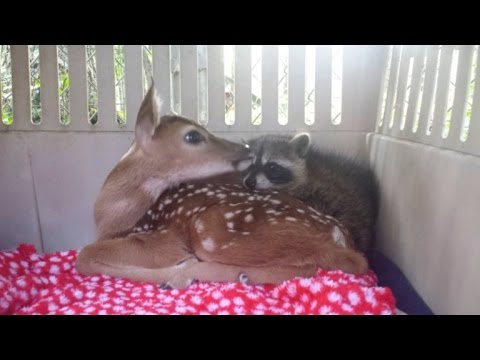Image result for Rescued fawns and orphaned raccoon