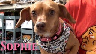 Sophie- Beagle/dachshund/terrier