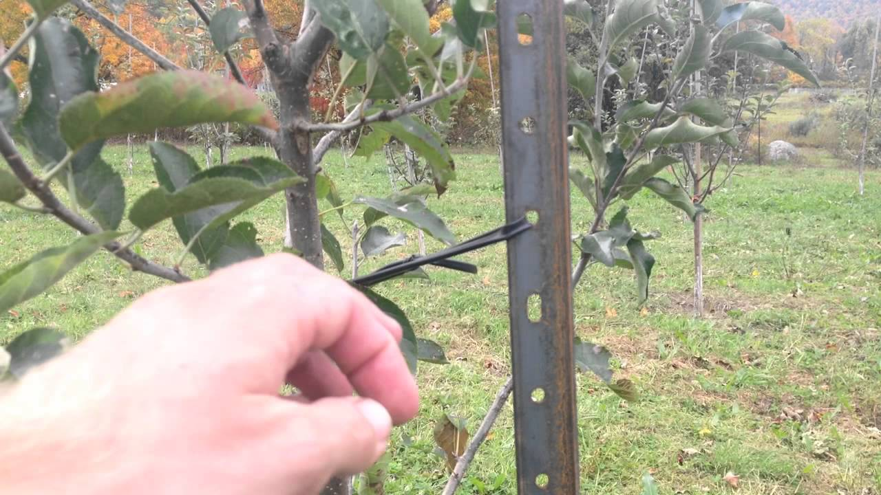 tying fruit trees to stakes youtube