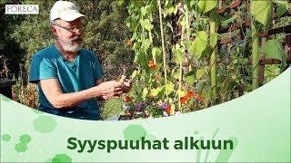 Mitä tehdä vihreille tomaateille ja milloin syyssipulit laitetaan maahan?