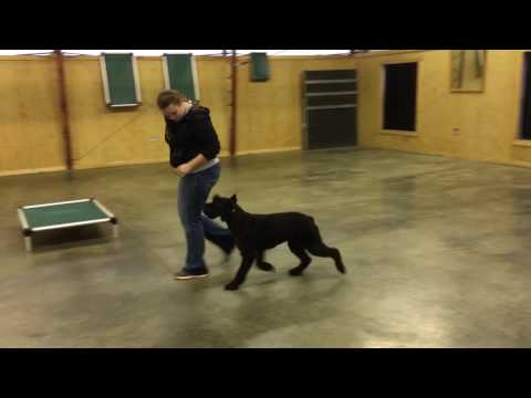 "Giant Schnauzer Female ""Lola"" Obedience Trained Naturally Protective Dog For Sale"