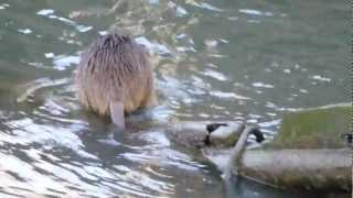 大川に生息する、帰化動物ヌートリア。