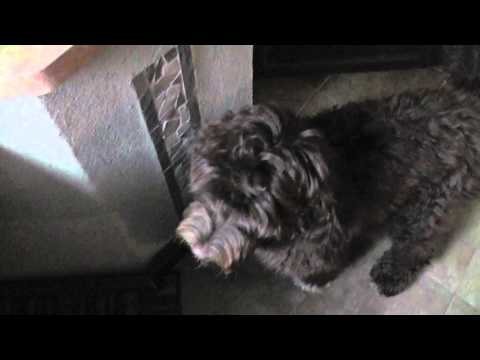 Morning Conversation my Portuguese Water Dog