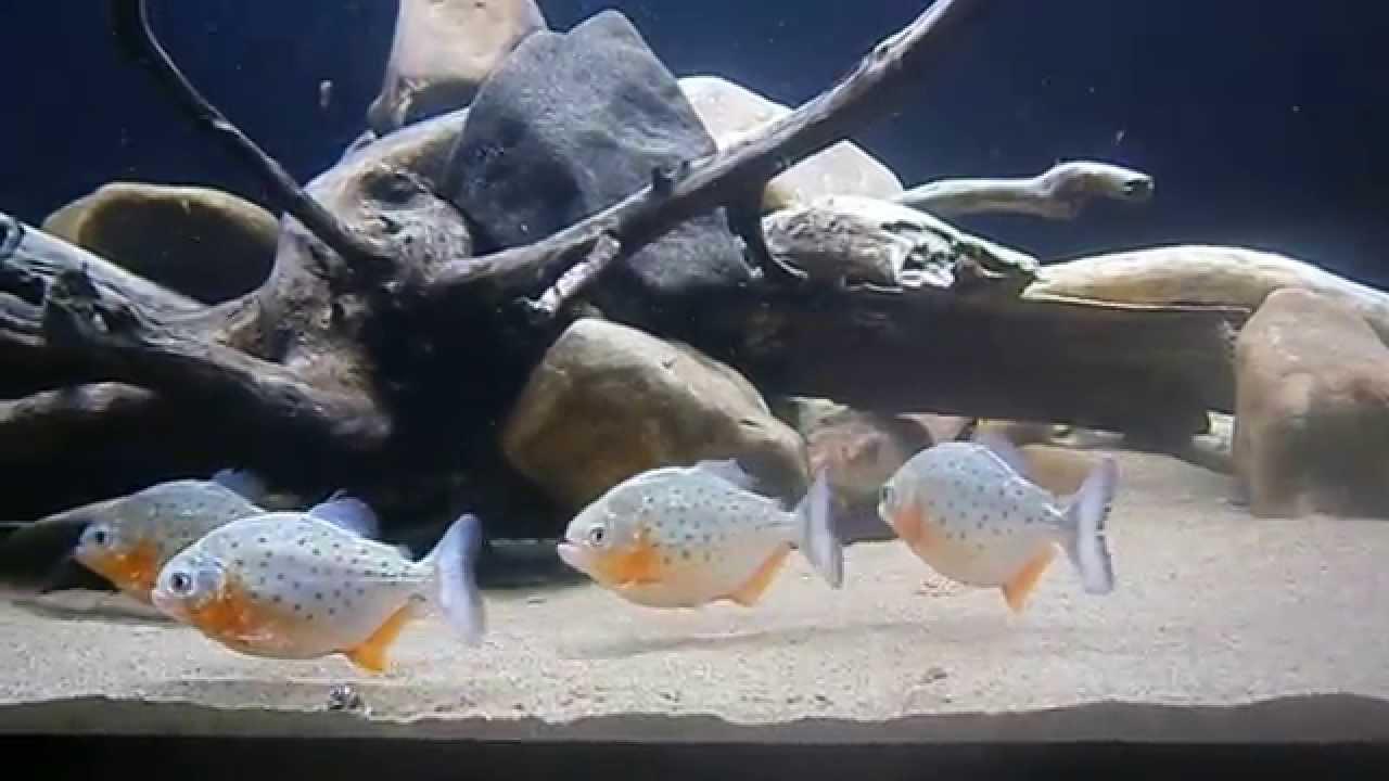 30 september 2014 red-bellied piranha baby (Serrasalmus ...