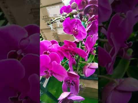 ORCHID FLOWERS PURPLE