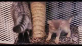 абиссинские кошки.avi