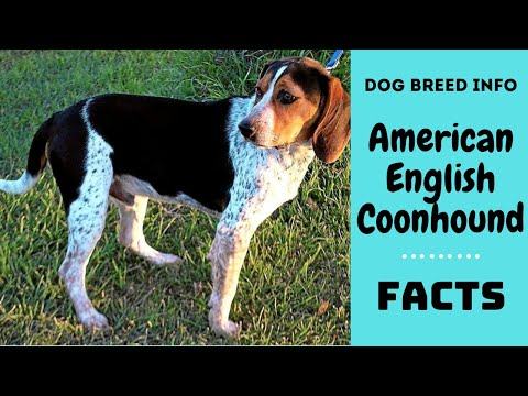 American English Coonhound dog breed. All American English Coonhound breed characteristics and facts