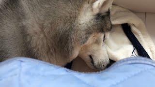 起きたら即甘えなければ気が済まないシベリアンハスキー 豚の鼻を食う