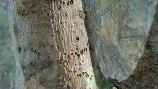Ash Trees Boring Insects Mesa AZ 480 969-8808 Warners Tree Surgery