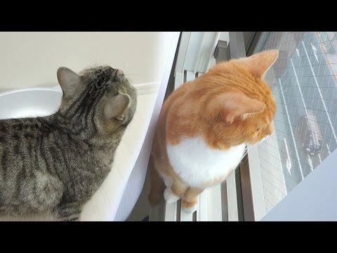 funny cat jumping on window side / 【猫 おもしろ】猫ズが窓際に飛び込んでいく