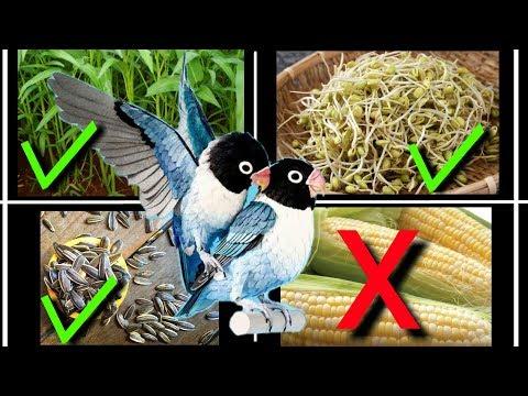 4 Makanan Lovebird Agar Cepat Birahi Dan Kawin