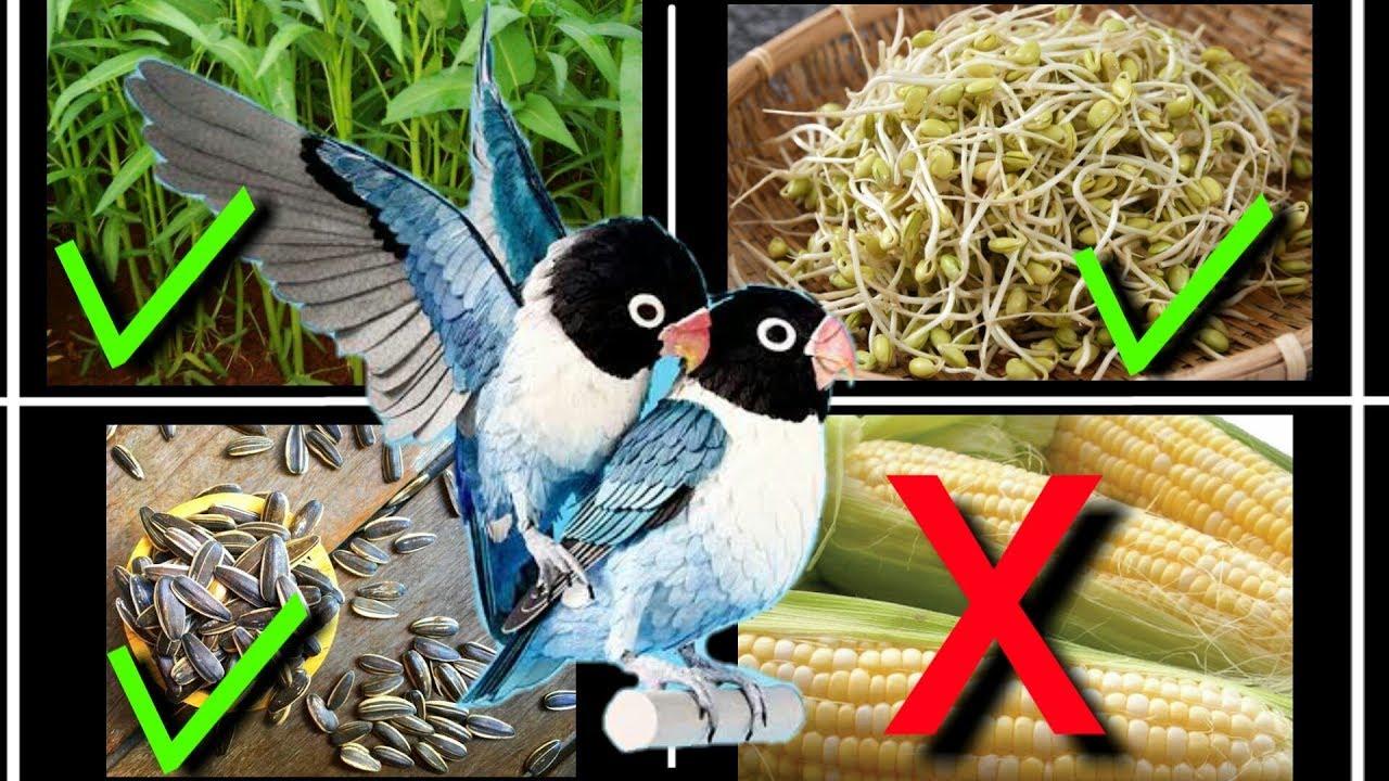 4 Makanan Lovebird Agar Cepat Birahi Dan Kawin Youtube