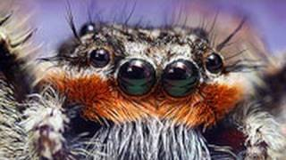 Spiders Use 3-D Vision To Catch Prey