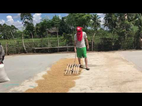 🌾🌾🌾American Drying Rice in the Philippines🌾🌾🌾 [PART 2]