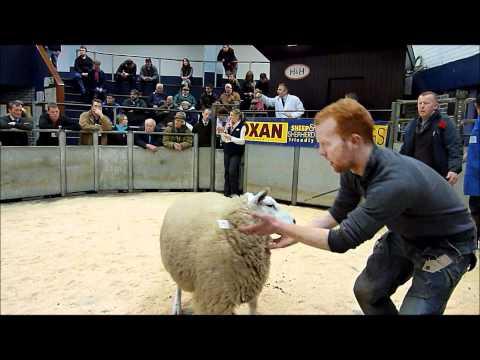 1st prize ewe in lamb sale Carlisle 2012