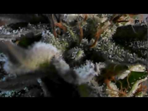 Pre Harvest Cali Connection Pre98 Bubba Kush