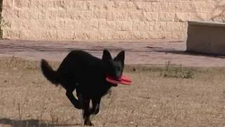 My German Shepherd Dog Love Playing Frisbee With Me