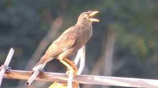 Common Myna - Bird Sound