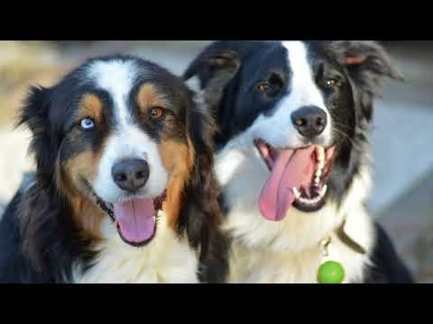 Life with Australian Shepherds (and their Border Collie friends)