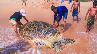 Live Big Tortoise Catching | Sea Turtle is Rescued From Fishing Net | Fisherman